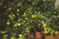 Λεμόνια στα μικρά δέντρα στοκ φωτογραφίες με δικαίωμα ελεύθερης χρήσης