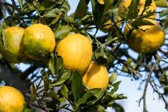 Λεμόνια στο δέντρο Στοκ Εικόνες