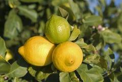 λεμόνια τρία στοκ εικόνες