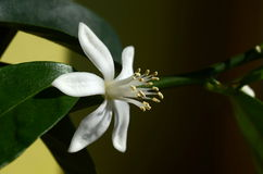Λεμόνι και λουλούδι Στοκ Εικόνα