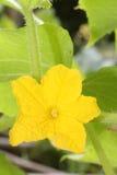 λεμόνι λουλουδιών αγγ&omic στοκ εικόνα με δικαίωμα ελεύθερης χρήσης