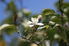 λεμόνι λουλουδιών στοκ εικόνα