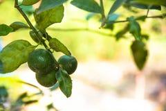 Λεμόνι Πράσινα λεμόνια που κρεμούν σε ένα δέντρο λεμονιών Στοκ εικόνες με δικαίωμα ελεύθερης χρήσης