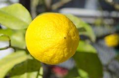 Λεμόνι σε ένα δέντρο λεμονιών Στοκ Εικόνες