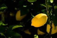 Λεμόνι στον κήπο μου στοκ φωτογραφίες με δικαίωμα ελεύθερης χρήσης