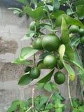 Λεμόνι στο δέντρο στοκ φωτογραφία με δικαίωμα ελεύθερης χρήσης