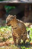 Λεοπάρδαλη μέσα σε Trivandrum, ζωολογικός κήπος Κεράλα Ινδία Thiruvananthapuram Στοκ Εικόνα
