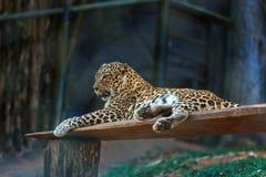 Λεοπάρδαλη μέσα σε Trivandrum, ζωολογικός κήπος Κεράλα Ινδία Thiruvananthapuram Στοκ Εικόνες