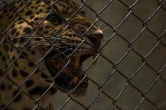 Λεοπάρδαλη που κοιτάζει έξω Στοκ εικόνες με δικαίωμα ελεύθερης χρήσης