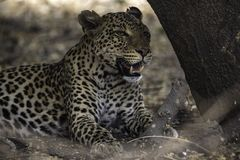 Λεοπάρδαλη που στηρίζεται μετά από μια θανάτωση και ένα καλό γεύμα Στοκ Φωτογραφίες