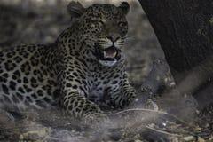 Λεοπάρδαλη που στηρίζεται μετά από μια θανάτωση και ένα καλό γεύμα Στοκ Εικόνες