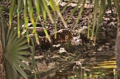 Λεοπάρδαλη που στηρίζεται με το πότισμα της τρύπας Στοκ Εικόνες