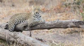 Λεοπάρδαλη που στηρίζεται σε ένα πεσμένο υπόλοιπο κούτσουρων δέντρων μετά από να κυνηγήσει στοκ εικόνες