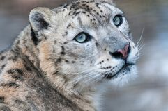Λεοπάρδαλη χιονιού, λεοπάρδαλη χιονιού, αρπακτική, άγρια γάτα, βουνά, χιόνι, άγρια φύση στοκ φωτογραφίες με δικαίωμα ελεύθερης χρήσης