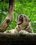 Λεοπάρδαλη χιονιού με το ανοικτό στόμα στοκ εικόνα με δικαίωμα ελεύθερης χρήσης