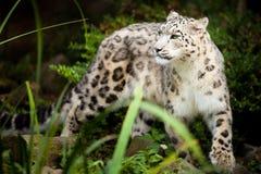 Λεοπάρδαλη χιονιού, uncia Panthera, μεγάλη γάτα εγγενής στις σειρές βουνών της νοτιοκεντρικής Ασίας Στοκ εικόνα με δικαίωμα ελεύθερης χρήσης