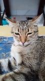 Λεοπάρδαλη ή γάτα Στοκ Φωτογραφία