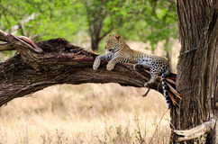 Λεοπάρδαλη, εθνικό πάρκο Serengeti Στοκ φωτογραφίες με δικαίωμα ελεύθερης χρήσης
