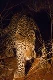 Λεοπάρδαλη, επιφύλαξη παιχνιδιού Madikwe στοκ φωτογραφία με δικαίωμα ελεύθερης χρήσης