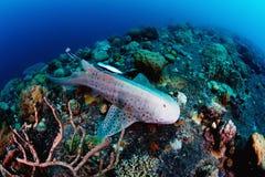 Λεοπάρδαλη, ζέβρα καρχαρίας που κολυμπά πέρα από τον τροπικό σκόπελο στοκ φωτογραφία με δικαίωμα ελεύθερης χρήσης