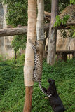 Λεοπάρδαλη και μαύρος πάνθηρας που παίζουν ένα σχοινί Στοκ Εικόνες