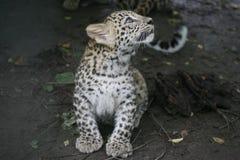 Λεοπάρδαλη μωρών Στοκ Εικόνες