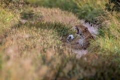 Λεοπάρδαλη που βάζει στην άμμο και το χασμουρητό Στοκ Εικόνες