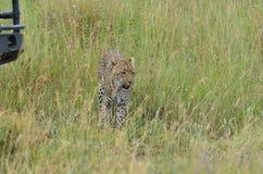 Λεοπάρδαλη που περπατά στη σαβάνα στο εθνικό πάρκο Serengeti Στοκ Εικόνες