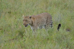 Λεοπάρδαλη που περπατά στη σαβάνα στο εθνικό πάρκο Serengeti Στοκ φωτογραφία με δικαίωμα ελεύθερης χρήσης