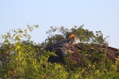 Λεοπάρδαλη που στηρίζεται μετά από το κυνήγι Στοκ Εικόνα