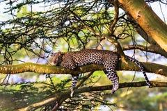 Λεοπάρδαλη που στηρίζεται σε ένα δέντρο Στοκ Εικόνα