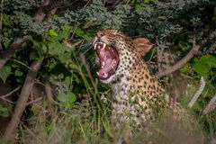 Λεοπάρδαλη που χασμουριέται στους θάμνους Στοκ Εικόνες