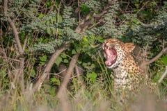 Λεοπάρδαλη που χασμουριέται στους θάμνους Στοκ φωτογραφίες με δικαίωμα ελεύθερης χρήσης
