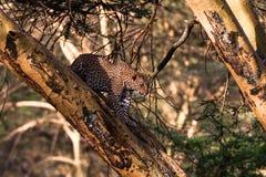 Λεοπάρδαλη σε ένα δέντρο σε μια ενέδρα Στοκ φωτογραφία με δικαίωμα ελεύθερης χρήσης