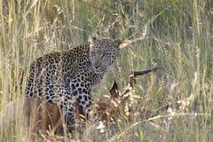 Λεοπάρδαλη στη θανάτωση - πύλη KNP Phabeni στοκ εικόνες