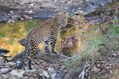 Λεοπάρδαλη στο βιότοπο Στοκ Εικόνες