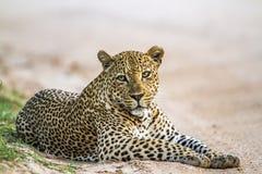 Λεοπάρδαλη στο εθνικό πάρκο Kruger, Νότια Αφρική στοκ εικόνα