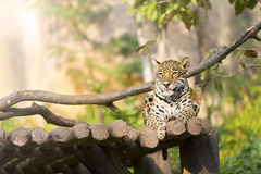 Λεοπάρδαλη τιγρών στο ξύλο που στηρίζεται στο ζωολογικό κήπο Στοκ Φωτογραφίες