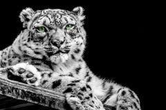 Λεοπάρδαλη χιονιού σε B/W στοκ εικόνες