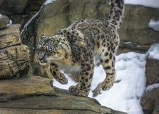 Λεοπάρδαλη χιονιού Στοκ φωτογραφία με δικαίωμα ελεύθερης χρήσης