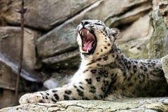 Λεοπάρδαλη χιονιού, uncia Uncia Στοκ φωτογραφία με δικαίωμα ελεύθερης χρήσης
