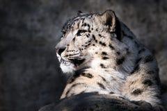 Λεοπάρδαλη ΧΙ χιονιού στοκ φωτογραφία με δικαίωμα ελεύθερης χρήσης