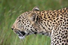 Λεοπάρδαλη στοκ φωτογραφίες