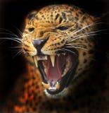 Λεοπάρδαλη Amur Στοκ φωτογραφία με δικαίωμα ελεύθερης χρήσης