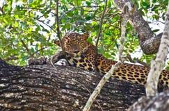 Λεοπάρδαλη Lankan Sri - Panthera Pardus Kotiya στο εθνικό πάρκο Wilpattu στοκ εικόνες