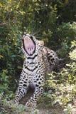 Λεοπάρδαλη (pardus Panthera) που βρίσκεται στο χασμουρητό θάμνων Στοκ Φωτογραφία