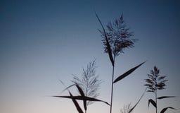Λεπίδα της χλόης που ταλαντεύεται στον αέρα στη μακρο κινηματογράφηση σε πρώτο πλάνο φωτογραφιών ηλιοβασιλέματος Spikelets ενάντι στοκ φωτογραφίες