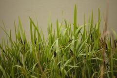 Λεπίδες της χλόης που καλύπτονται με τη δροσιά στοκ φωτογραφίες