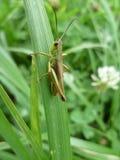 Λεπίδα χλόης με grasshopper στήριξης Στοκ φωτογραφία με δικαίωμα ελεύθερης χρήσης
