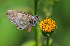 Λεπιδόπτερα που θέτουν στο κίτρινο λουλούδι στοκ φωτογραφίες με δικαίωμα ελεύθερης χρήσης